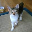 至急 里親さんを探しています。きれいな三毛猫ちゃん ♀5か月