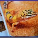 爬虫・両生類ビジュアルガイド ◆ トカゲ【2】/ヤモリ/カナヘビ
