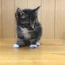 キジシロ生後1ヶ月半男の子です
