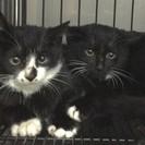 黒い貴公子 黒子猫兄弟 3ヶ月