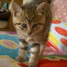 キジトラの可愛い姉妹です。生後1.5ヶ月まだまだ小さい子猫です。