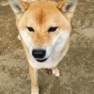 4歳の柴犬です。