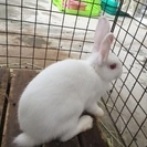 白いオスのかわいいウサギです。お庭で飼える方を優先で募集します。