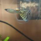 熱帯魚/グッピー ブルーグラスコブラ 1ペア