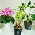 シクラメン&観葉植物セット♪