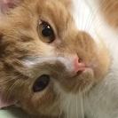 甘えんぼでコロコロ好きの茶白猫ちゃん