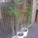 ●交渉中●観葉植物シマトリネコ3鉢あります。1つ200円