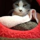 グレー白の美猫さんです。