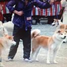 優良血統、秋田犬の女の子です。