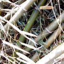真竹・竹材料、竹笹。細工・工作・地鎮祭などに。お譲りします。