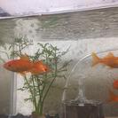 金魚、水槽つき