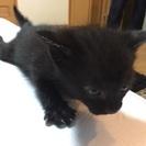 美人の黒猫子猫ちゃん