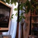 観葉植物 大型 パキラ2本立て