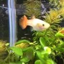 熱帯魚 外国産グッピーの稚魚 あげます