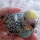 里親決定☆青いセキセイインコの赤ちゃん1羽