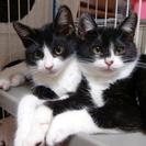 白黒仔猫兄妹の里親さん募集です。写真変更