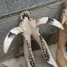 野性イノシシの牙と骨