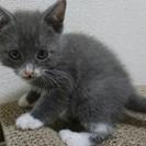 ロシアンブルー系MIX子猫です。募集終了
