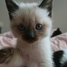生後1か月半の子猫です