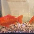 金魚の里親募集してます。どなたか飼っていただけませんか。
