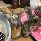 【子猫里親さん募集】子猫2か月半*4匹*固形餌OK*トイレしつけ済...
