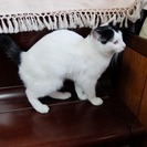 子猫の里親募集 ☆ (スワンの子) ほぼ白色のきれいな猫
