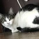 人馴れ訓練中の美しい猫、ココナちゃん