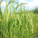 農家のお米  28年度産 近江 コシヒカリ 30kg 玄米