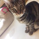 お耳の大きなかわいいキジ猫サマー君8ヵ月