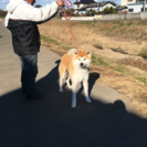 優良血統の秋田犬です。