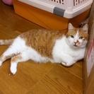 ひとなつこい イケメン雄猫 7歳のキタロー