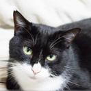 黒白柄の成猫「トム君」 里親募集(=^・^=)