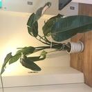 観葉植物オーガスタ2鉢(引取限定)