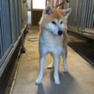 優良血統の秋田犬、約一歳の男の子です。
