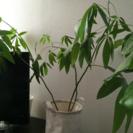 ご予約済みです☆パキラ  観葉植物