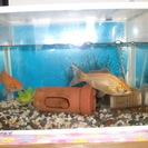 金魚2匹の里親募集いたします。