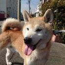 【飼い主が決定しました】元気な柴犬・颯(はやて)