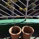 植木鉢(大)