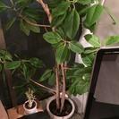観葉植物 パキラ