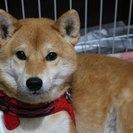 とっても可愛いメスの柴犬です。可愛がって頂ける方を募集しています。