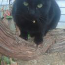 可愛い黒猫の里親募集