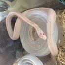 爬虫類ショップ スノーストライプ入荷 白蛇を飼育してみませんか。