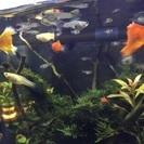 熱帯魚 グッピー稚魚あげます