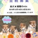 柴犬と雑種のMIX子犬(受付再開)