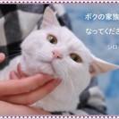 超~癒やし系太めの白猫ちゃん(保護猫)の里親募集です