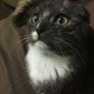 スコティッシュのmix 生後5~6ヶ月程の黒猫
