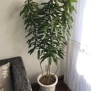 観葉植物《ドラセナ・リフレクサ》