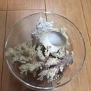 天然サンゴ、特大サザエ殻 ガラス入れセット 沖縄購入