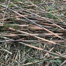 篠竹あげます 竹細工や竹垣などにいかがですか 女竹/ナヨタケ/シ...
