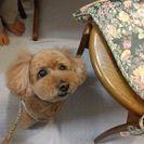シャンプー、カットモデル犬を募集